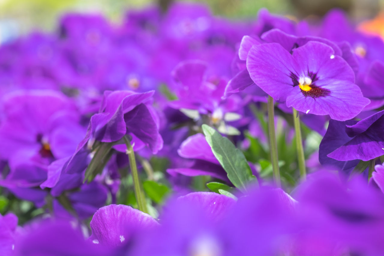 flower, petal, fragility, purple, beauty in nature, nature, freshness, flower head, growth, selective focus, plant, blooming, no people, day, outdoors, close-up, crocus, petunia