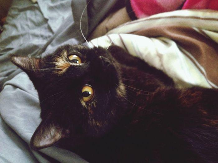 Pumpkin Muffin! Cute Kitty Cat Furbaby Princess Spoiled Kitten Calico Pumpkin Muffin