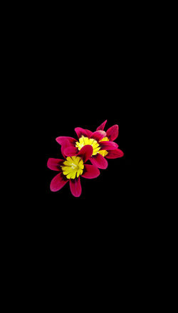 "New series. Background size is 14"" x 8"", image approx 3x3 - 3x2.5 14 X 8 Live Black Background Flower Flowering Plant Inflorescence Isolated No People Red And Yellow Flowers"