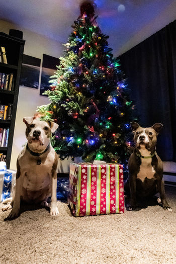 Dog Canine Pets Mammal One Animal Domestic Domestic Animals Animal Animal Themes Christmas christmas tree Portrait Looking At Camera Vertebrate Holiday Celebration Tree Decoration Indoors  No People Christmas Ornament