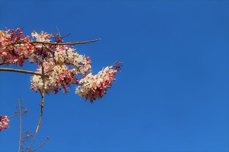 Flower Blue Flowering Plant Sky Plant Nature Freshness Fragility Branch Low Angle View Springtime Tree Beauty In Nature Copy Space Clear Sky Blossom Day No People Growth Vulnerability  Outdoors Cherry Blossom Cherry Tree