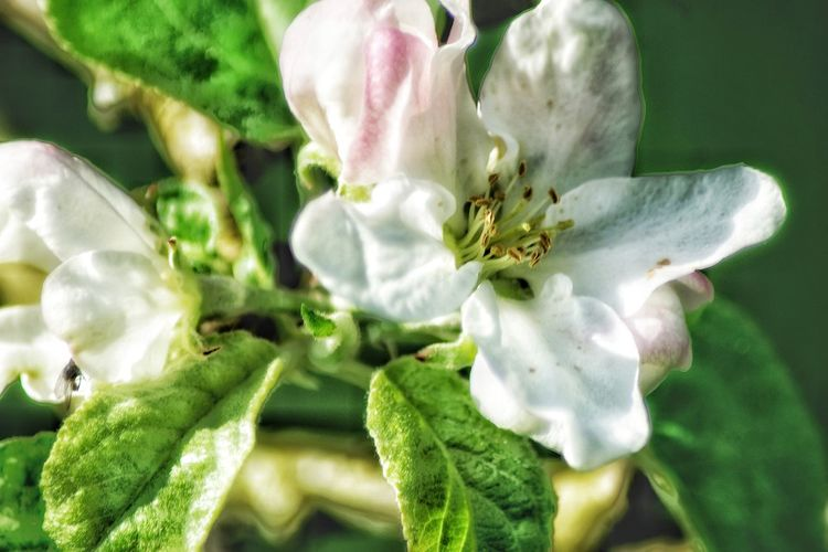 Apple Blossoms Flower Growth Nature Plant Freshness Beauty In Nature Fragility Close-up Petal Flower Head Green Color No People Day Springtime Outdoors My Garden From My Point Of View EyeEm Nature Lover I LOVE PHOTOGRAPHY Taking Photos Check This Out Focus On Foreground Ban Abusive Users Fight For Your Right