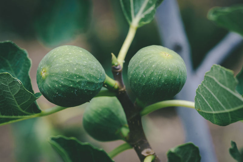 Green Figs Growning on a Tree. Agriculture Orchid Beauty In Nature Close-up Day Fig Fig Tree Figs Growing Focus On Foreground Food Food And Drink Freshness Fruit Fruits Garden Green Color Green Figs Growth Healthy Eating Leaf Nature No People Outdoors Plant Tree