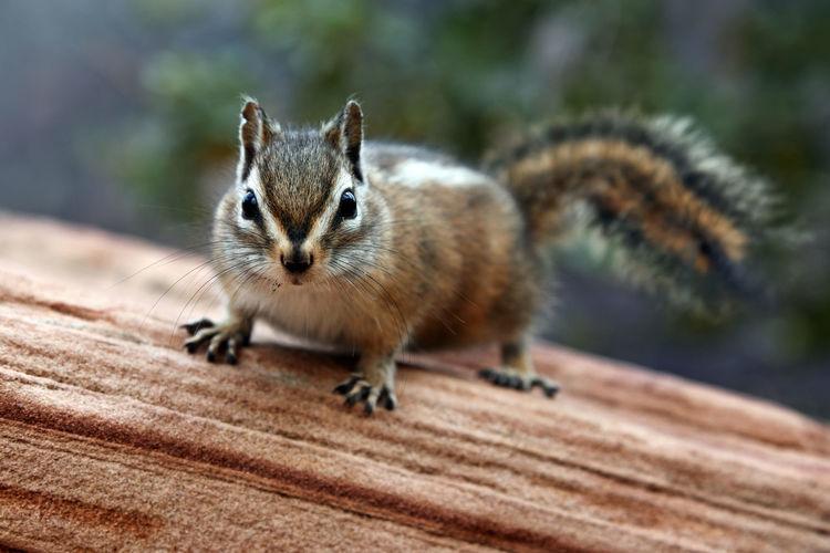 Chipmunk in Zion National park, Utah EyeEmNewHere Zion National Park Chipmunk Wildlife First Eyeem Photo