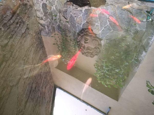 Reflection Nature Original Picture GoldFish! Goldfishpond