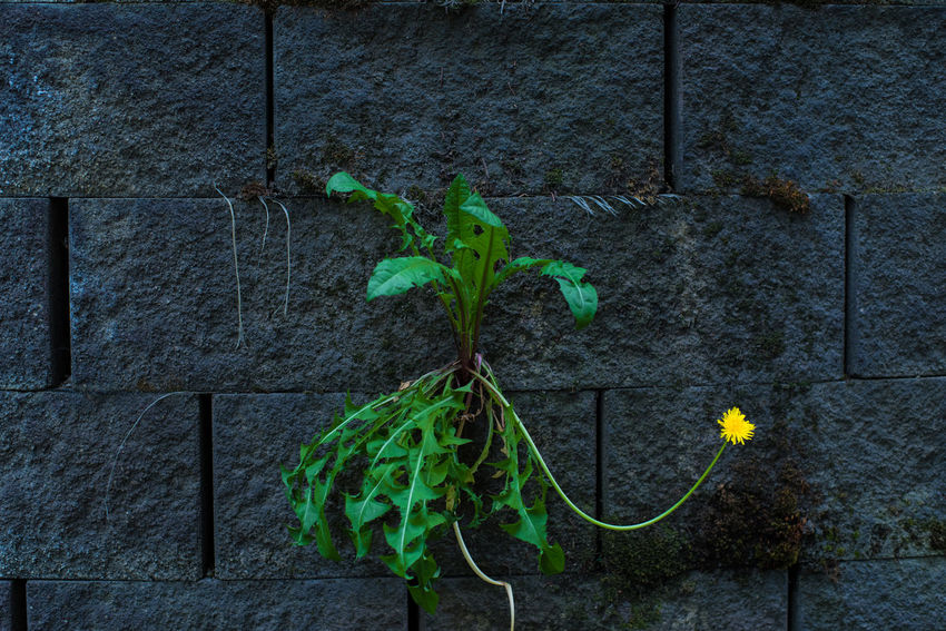 Bricks Dandelion Flower Flower Growing In Wall Green Perserverance Plant Stone Stubborn Wall