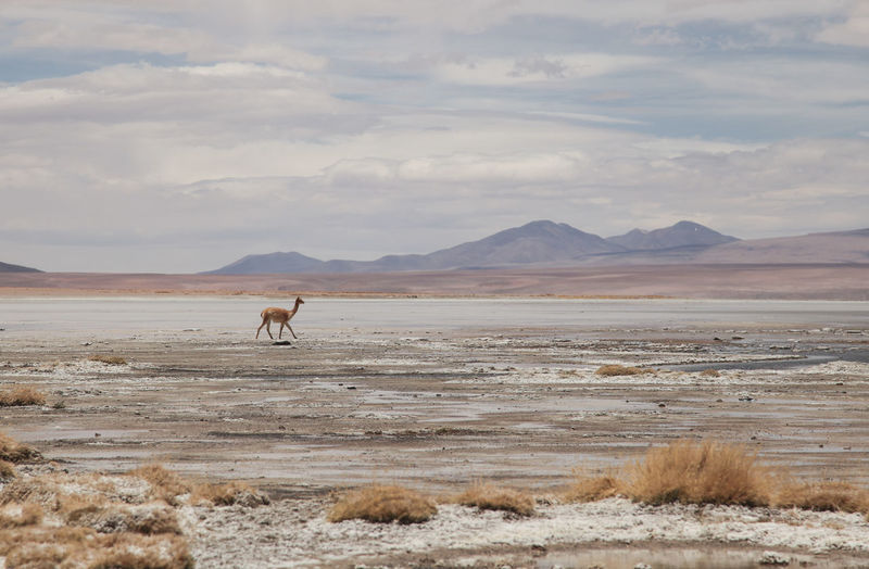 Distant view of guanaco walking on field against cloudy sky