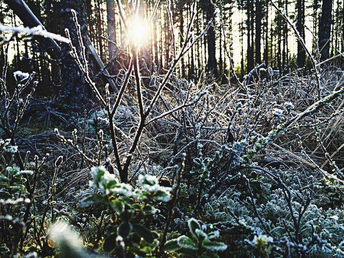 Winter Frosty