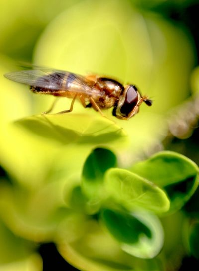 A golden hoverfly. Nature Canon 600D 50mm 1.8 Macro Photography