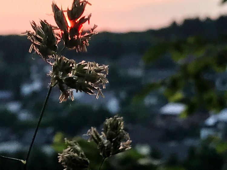 EyeEm Selects Nature Growth Plant Focus On Foreground Outdoors Beauty In Nature Flower No People Close-up Day Fragility Sunset Scenics Sky Flower Head Freshness Gerrits