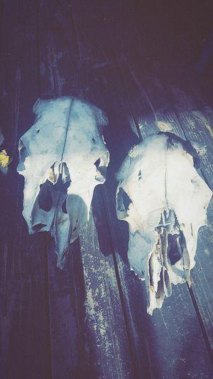Cowskulls Skulls Thelma Louise Love POTD Melbourneartists Artist