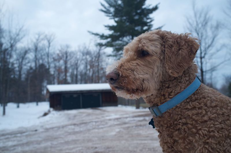 Close-up of goldendoodle during winter