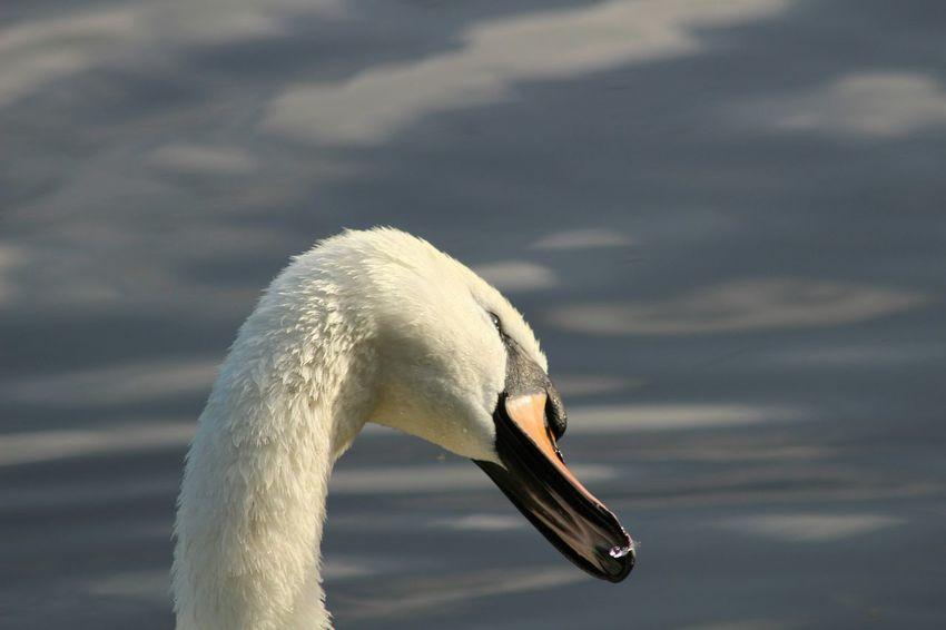 Cutie Swan