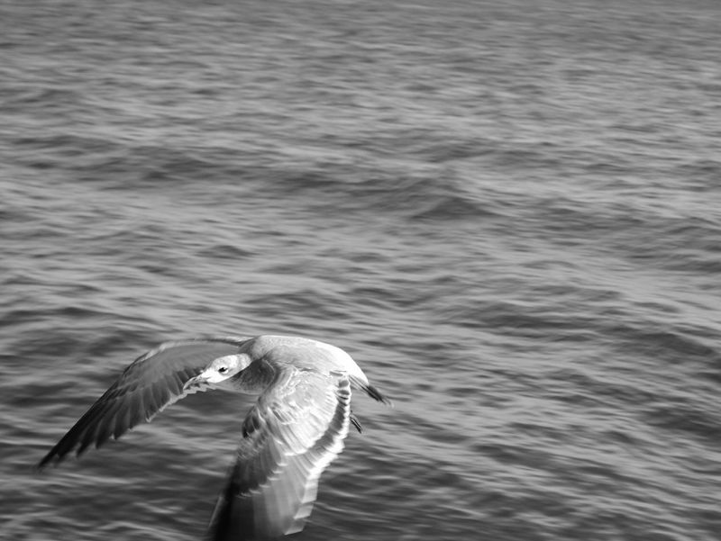 Seagull flying over ocean. Bird Seagull Animal Wildlife No People Nature Beauty In Nature Outdoors Flying Seagull Closeup Jensen Beach, FL