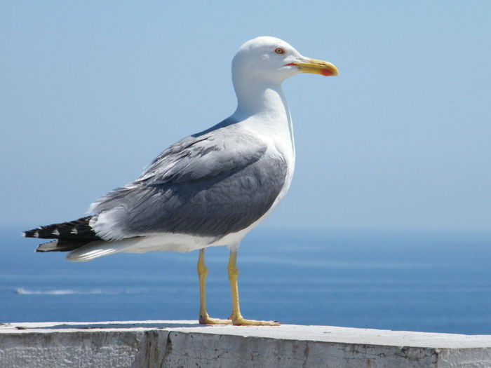 Animal Themes Animal Wildlife Animals In The Wild Beauty In Nature Bird Clear Sky Close-up Day Nature No People One Animal Outdoors Perching Sea Seagull Sky Water