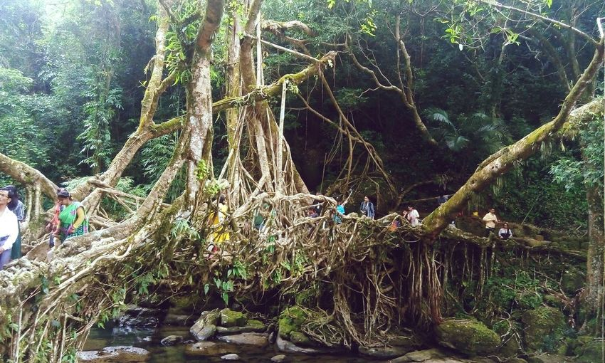Amazing nature exhibit! Natural Root Bridge Tree Growth Nature Beauty In Nature Outdoors Photography Sharingexperiences Explore Outside Your Town Tourist Attractions @ North East India Trekking Adventure Freshness Beauty In Nature