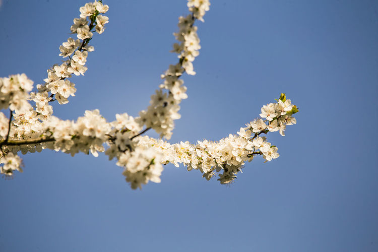 A beautiful, white plum blossoms in the spring. Blossoming plum tree in a sunny day. Bright spring scenery. Plant Growth Beauty In Nature Fragility Nature No People Outdoors Plum Blossom