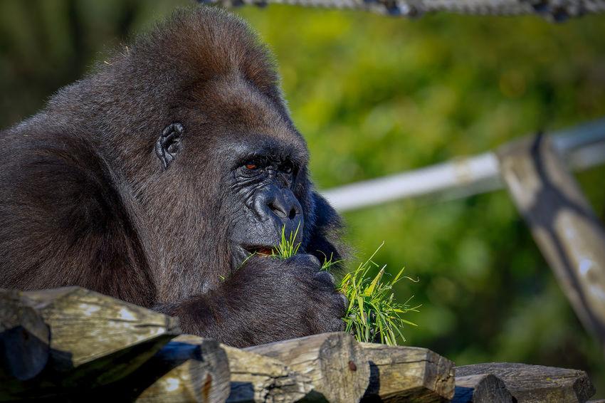 Animal Themes Animal Wildlife Animals In The Wild Ape Close-up Day Gorilla Mammal Monkey Nature No People One Animal Outdoors Tree