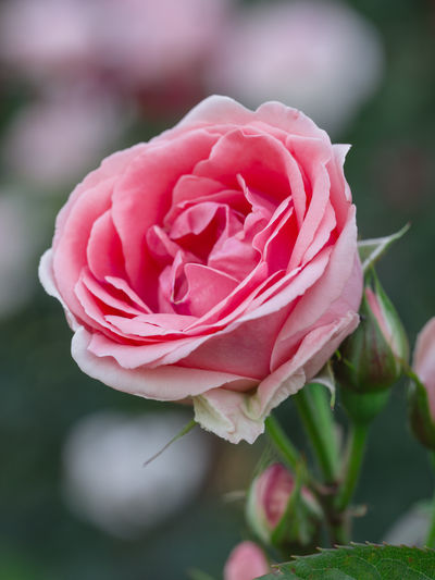 rose Love Symbol Beauty In Nature Blooming Blooming Flower Blossom Bokeh In Background Bokeh Photography Close-up Day Flower Flower Head Fragility Freshness Garden Garden Photography Growth Nature No People Outdoors Petal Pink Color Plant Romantic Scenery Rose - Flower Rose Head