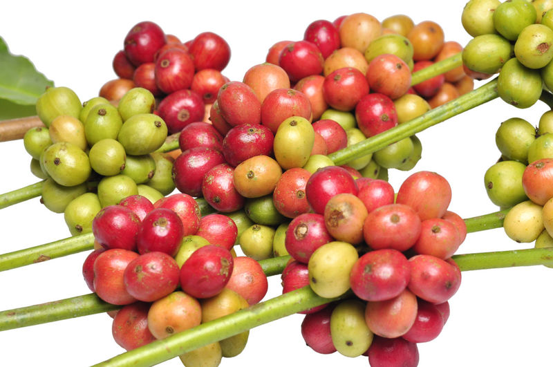 fresh coffee beans Agriculture Coffee White Background Supermarket Fruit Red Healthy Lifestyle Social Issues Grape Variation