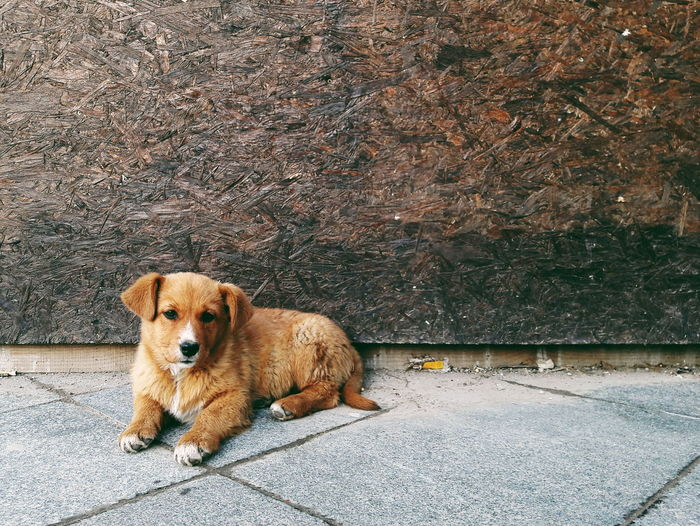 Dog Pets One Animal Domestic Animals Animal Themes Mammal Looking At Camera Portrait Day Puppy Outdoors No People