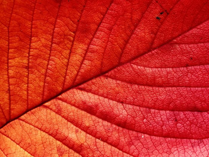 Backgrounds Full Frame Textile Red Close-up Textured  Leaf Nature Nature Beauty In Nature IPhoneography Leechangwon Maximum Closeness