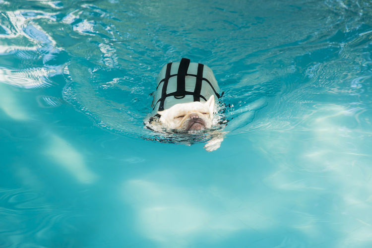 French bull dog swimming in pool