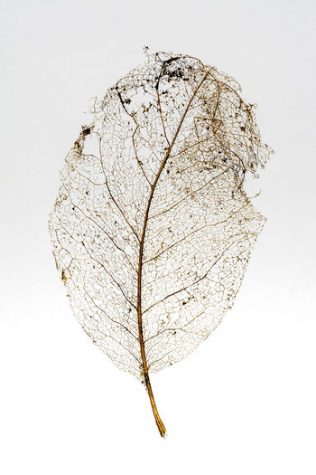 A petrified leaf skeleton Broken Patterns Close-up Day Fragility Leaf Leaf Vein Minimalism No People Outline Petrified Preserved Skeleton Still Life Structure Studio Shot Textured  White Background