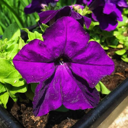 ultra...violet✨💜🌸💜✨ Tadaa Community Plant Flower Flowering Plant Beauty In Nature Close-up Growth Flower Head Freshness Springtime Inflorescence Purple