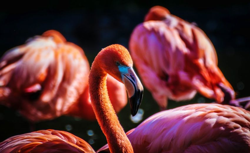 Flamingos against black background