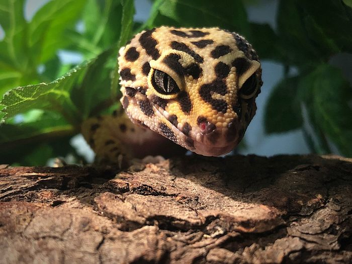 My littlest buddy Brightly Colored Fresh Skin After Shed Unusual Pets Pet Little Monsters Cat Eye Crazy Eyes Spotted Lizard Yellow Lizard Leopard Gecko One Animal Animal Themes Animal Animals In The Wild Animal Wildlife Vertebrate Reptile Lizard Spotted Close-up Animal Markings Nature