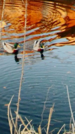 2MaleMallards💖💖 Reflection Outdoors Water Nature Day Reflections And Shadows Reflections Of Beauty Reflection_collection Canals And Waterways Serene Outdoors Eyeemnaturelover Fulllength EyeEmBestShot's Duck_Photography I💞💞💞Duck's Full Length Beauty In Nature Exciting Thrillingmoment No People Nature Waterfront Animal Themes Animals In The Wild