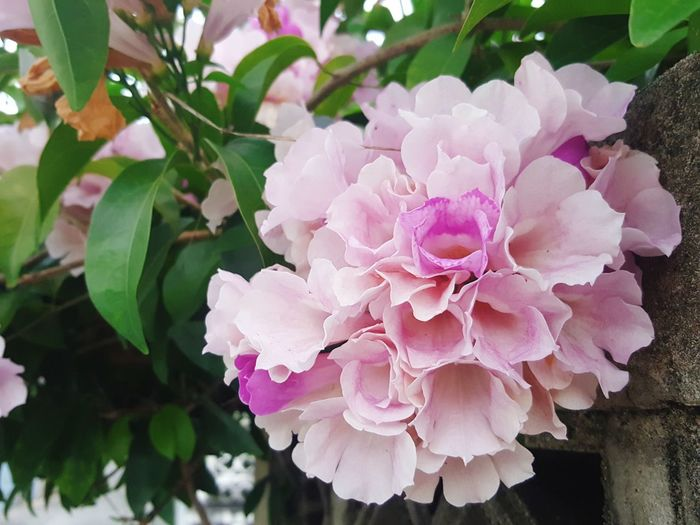 Garlic vine ;Pachyptera hymenaea , Mansoa Alliacea Pink Color Flower Plant Nature No People Petal Beauty In Nature Day Close-up Growth Outdoors Flower Head Fragility Freshness Garlic Alliciace MANSOA Gentry Mansoa Garlic Vine