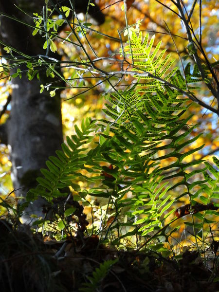Farne Nature Leaf Beauty In Nature Close-up Autumn Farne Backlightingphotography Backlit Leaves Green Color Green Green Green!  No People Wanderlust Pfälzerwald Nofilter Sunny Day Sonne Im Wald Forest Photography Sunbeam Sun In The Forest Sun In Trees Tranquility Beauty In Nature Autumn Herbst