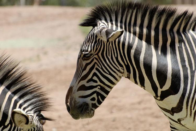 Zebras Wildlife Two Animals Close-up Closeup Zebra Stripes Pattern Animals Animal No People Outdoors