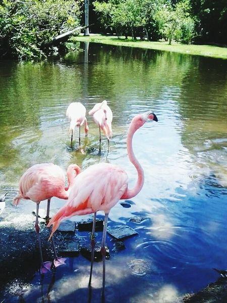Flamingo Bird Water Reflection Wading Outdoors