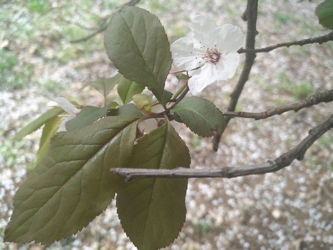 Nature Leaf Plant No People Close-up Outdoors Day Beauty In Nature Tree Nofilter Springtime I Love Spring <3