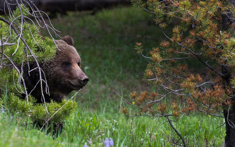 Animal Head  Bear Beauty In Nature Grizzly Bear Mammal Nature No People Outdoors Selective Focus
