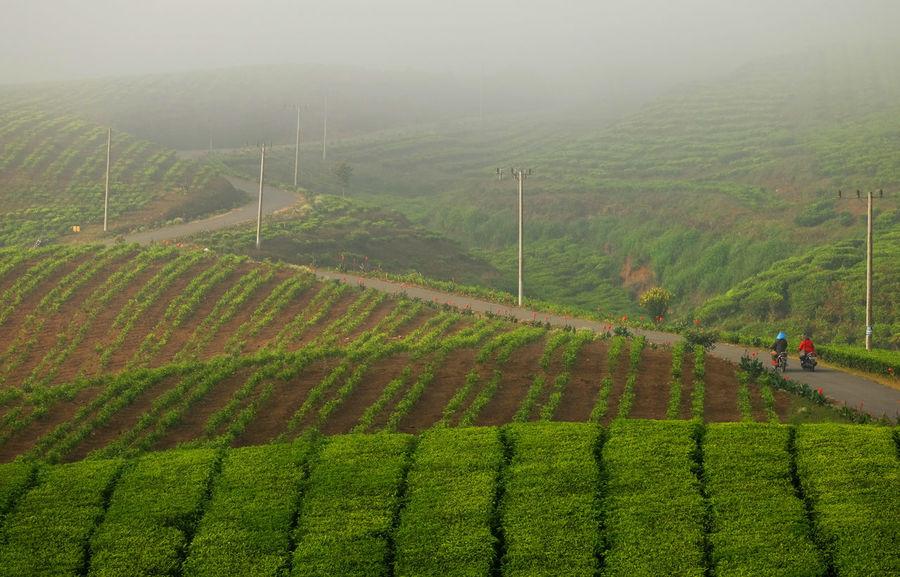 Kerinci tea plantations Jambi Sumatra  Tea Agriculture Beauty In Nature City Crop  Day Farm Field Food Freshness Green Color Growth Hill Kerinci Landscape Nature Outdoors Scenics Sky Tea Crop Tea Plantation  Terraced Field Tree