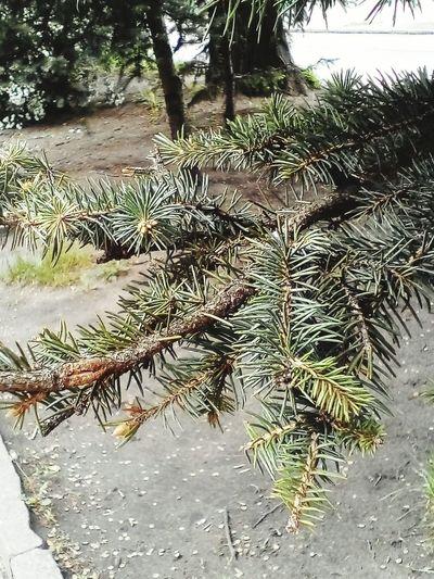 Fir-tree Park Bloom Evergreen Old Sunny Weather A Lot Of Needles Needles Хорошая погода Иголки ель солнечно красиво природность