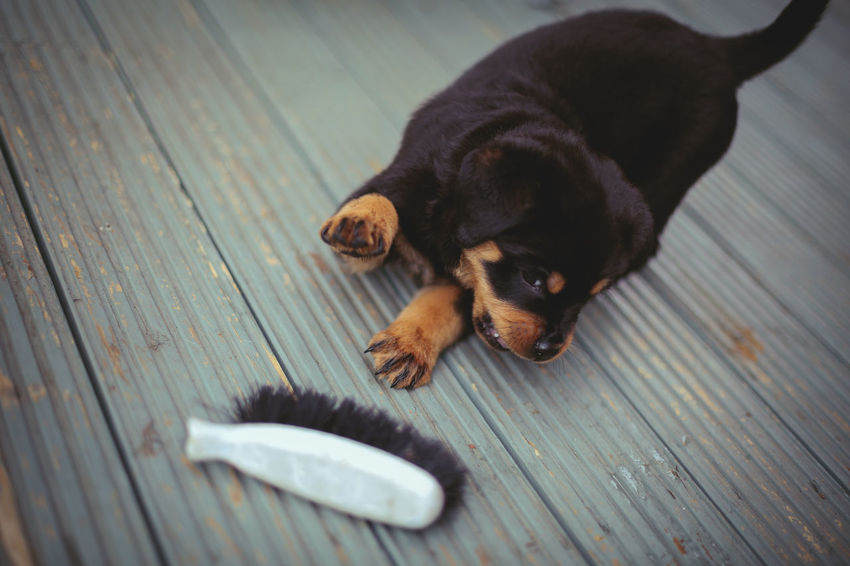 Brush Play - Animal Themes Close-up Dog Domestic Animals Mammal No People One Animal Pets Puppy Rottweiler Pet Portraits