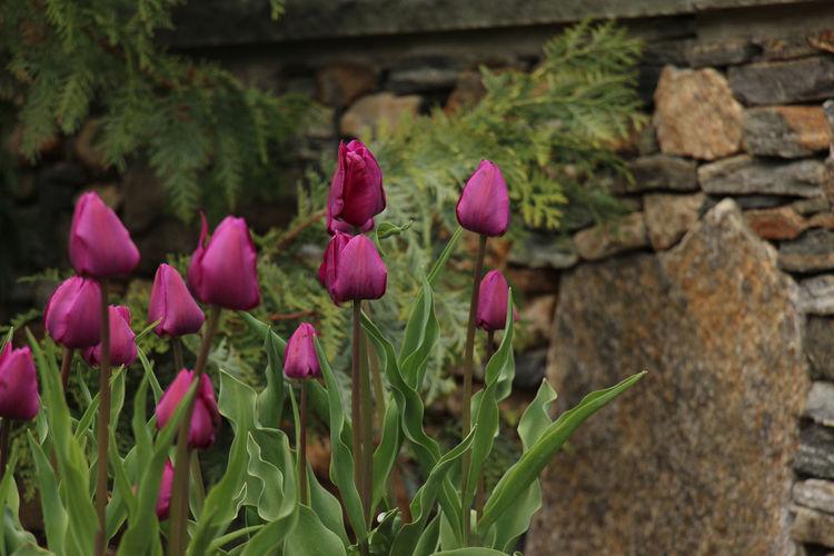 Dark Pink By Motorola Tower Hill Botanical Garden Boylston, MA Tulips Flowerporn Spring Flowers Canon EyeEm Nature Lover Flowerpower Spring Into Spring