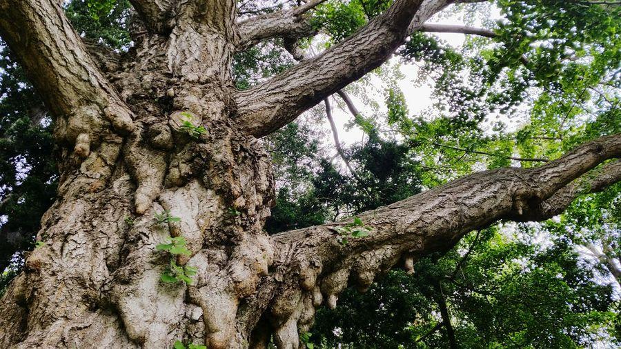 Beautiful Gingko Tree Gingkobiloba Tree Maidenhair Tree Tree Bark Tree Trunk Springtime Spring