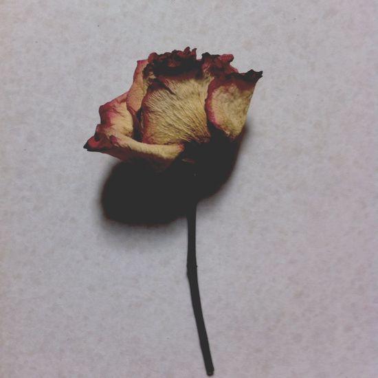 Dead beauty no. 2 Wilted Flower