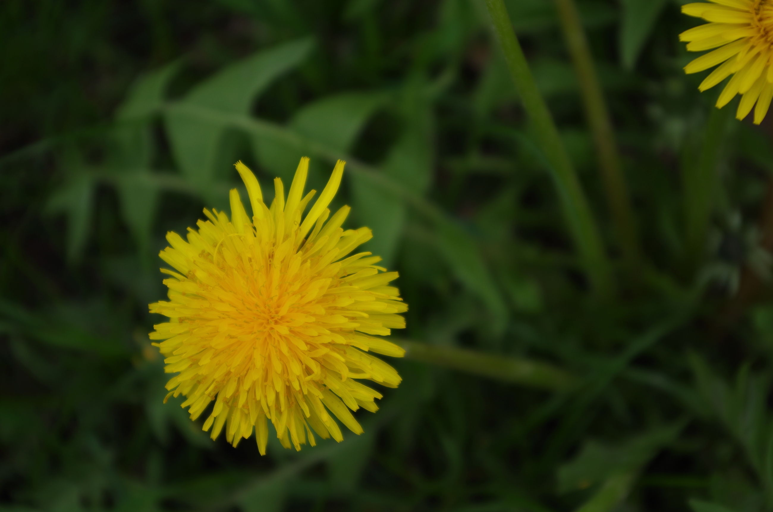 flower, freshness, yellow, fragility, flower head, petal, growth, beauty in nature, close-up, blooming, focus on foreground, nature, plant, single flower, dandelion, pollen, in bloom, field, blossom, outdoors