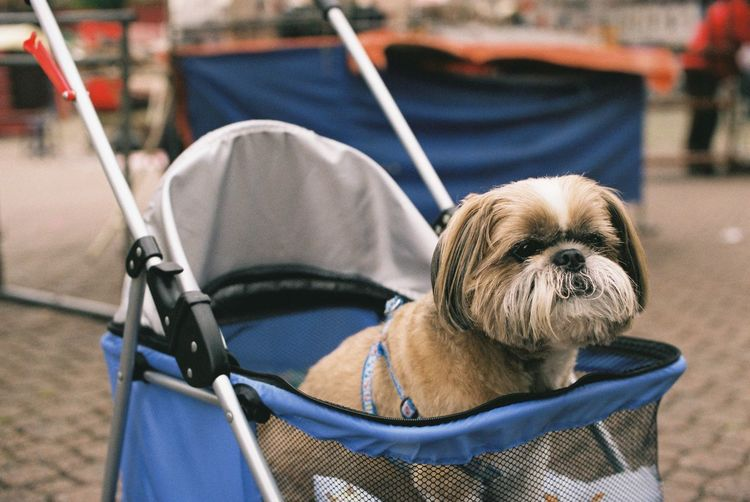 Dog relaxing in stroller on street