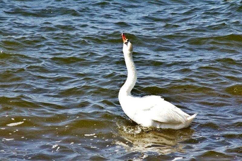 Foie gras. Geese. Swan. Bird. Bay. Water. Fire Island