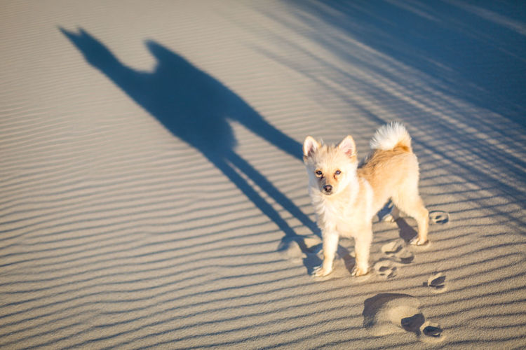 Comme une ombre - Weekend in Zeeland (Biggekerke, NL, 2018) Animal Themes Day Dog Domestic Animals Fox High Angle View Nature No People One Animal Outdoors Pets Pomeranian Portrait Sand Shadow Sunlight Walking
