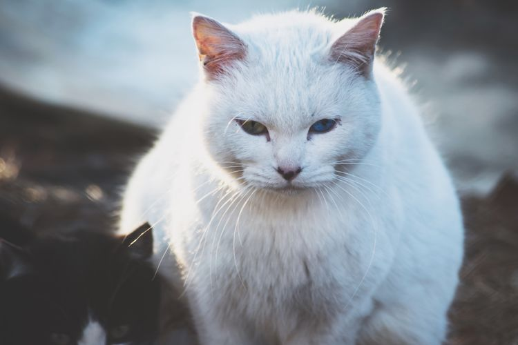 Domestic Cat Feline Domestic Animals Pets Animal Themes One Animal Mammal Cat Close-up No People Day Outdoors