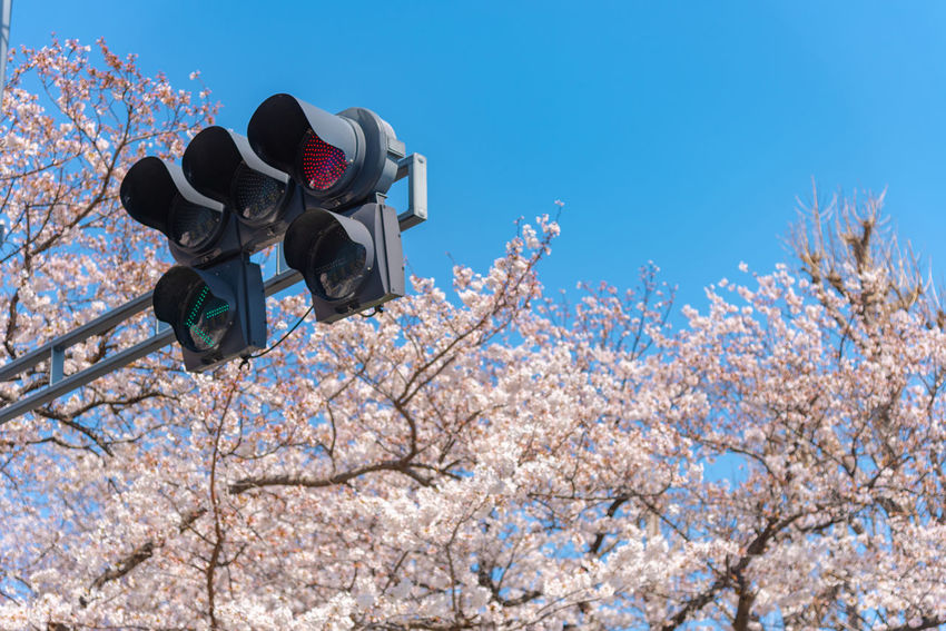 Traffic light (The red light) with Cherry blossoms, Tokyo, Japan. ASIA Cherry Blossom Green Japan Light Pole Red Street Light Street Lamp Tokyo Traffic Travel Blossom Cherry Tree Flower Lamp Standard Lamppost Light Standard Season  Signal Lights Spring Stoplight Traffic Lamp Traffic Semaphore Traffic Signals Yellow
